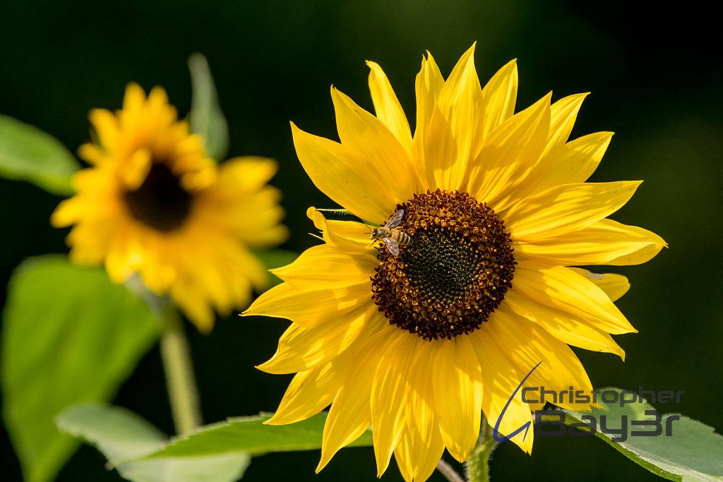 Bienchen und Blümchen I